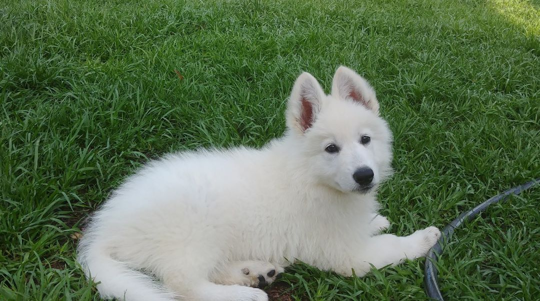Berger Blanc Suisse Puppies For Sale At Vom Hundhaus Shepherds
