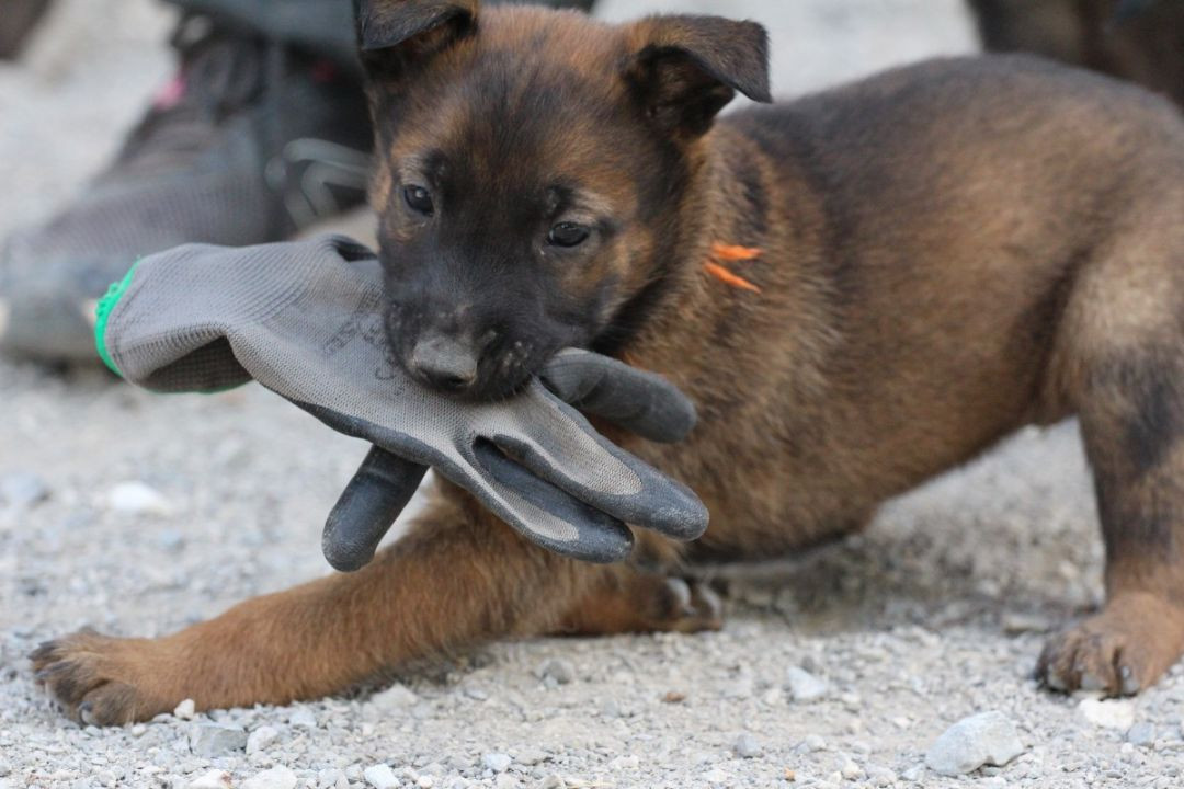 Belgian Shepherd Malinois Puppies For Sale Dog Petworld Global Dog And Cat Owners Community